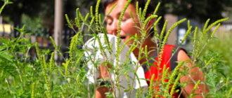 аллергия на пыльцу амброзии