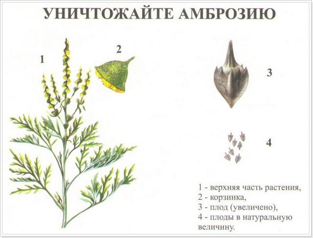 Амброзия растение
