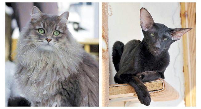 Самые гипоаллергенные кошки
