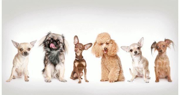 Лучшие собаки для аллергиков